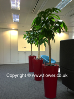 tropical office plants london red delta pot